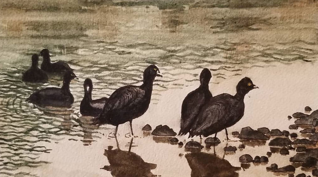 Coots at Lagoon — Mexico — Karl Willms